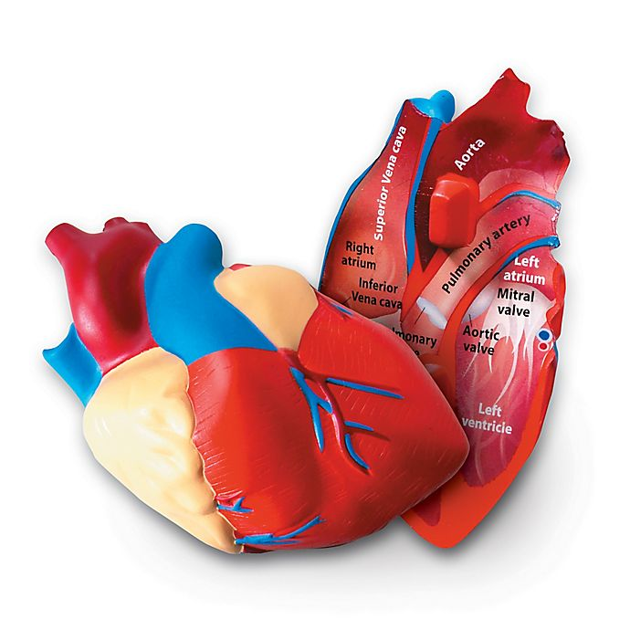 Learning Resources® Cross Section Human Heart Model | Bed