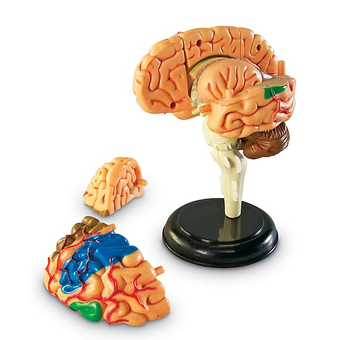 Learning Resources Brain Anatomy Model Bed Bath Beyond