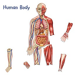 Learning Resources® 17-Piece Double-Sided Magnetic Human Body Set
