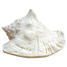 Queen Conch Shell in Museum White