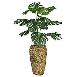 48-Inch Monstera in Basket Urn in Green