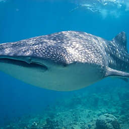 Snorkeling with Whale Sharks by Spur Experiences®