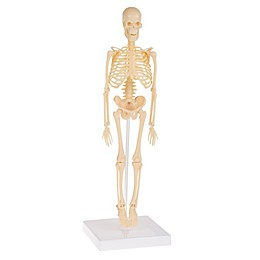 Hey! Play! Human Skeleton Model Kit
