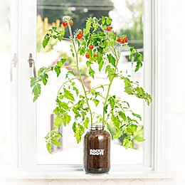 Back to the Roots Self-Watering Tomato Plant Kit