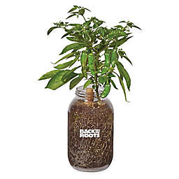 Back to the Roots Self-Watering Shishito Peppers Plant Kit