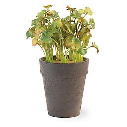 Boston International 9-inch Coriander Plants in Brown Pot