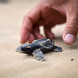 Spawning Turtles Tortuguero Tour in Costa Rica by Spur Experiences®