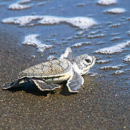 Costa Rica Turtles Birth Tour by Spur Experiences®