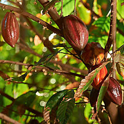 Panama Bocas del Toro Oreba Chocolate Guided Tour by Spur Experiences®