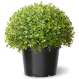 National Tree 13-Inch Globe Japanese Holly with Green Pot