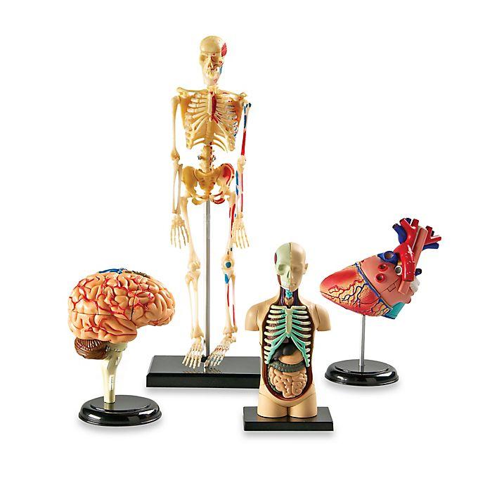 Alternate image 1 for Learning Resources Anatomy Models Bundle Set